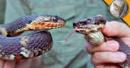 cottonmouth water snakes