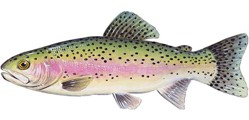 17,666 Rainbow Trout Head for Guadalupe | My Canyon Lake